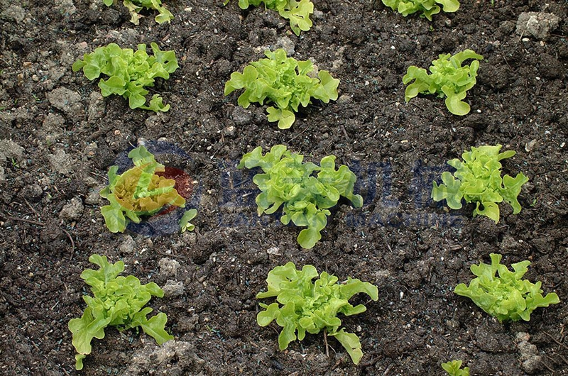 Lettuce can be washed by our lettuce washer after harvesting,and washing machine lettuce washer have good effect and easy to operate