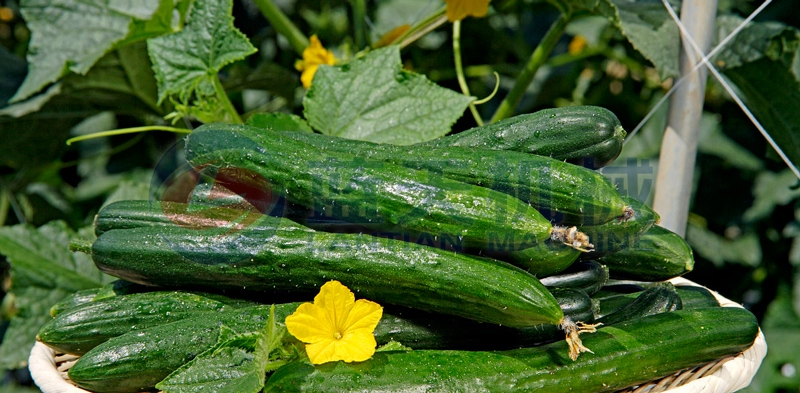 Our cucumber washer is good in performance and good in washing effect