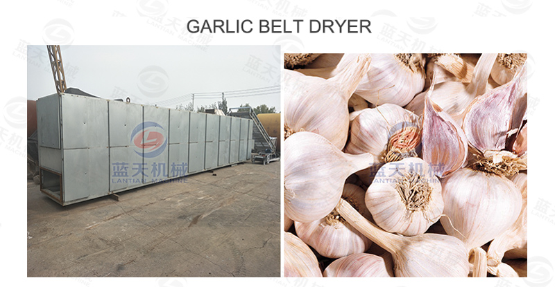 Garlic belt dryer